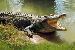 crocodile-362433