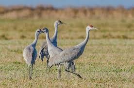 Sandhill Crane season