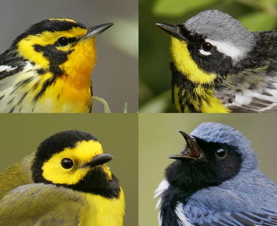 image-five-warblers_orig